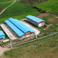 دامداری مجوزدار گاو گوسفند در مازندران