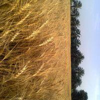 نخلستان و زمین کشاورزی
