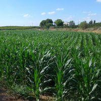زمین کشاورزی 40هکتار سنددار باچاه آب وبرق