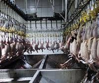 مجتمع کشتارگاه صنعتی مرغ در فسا شیراز
